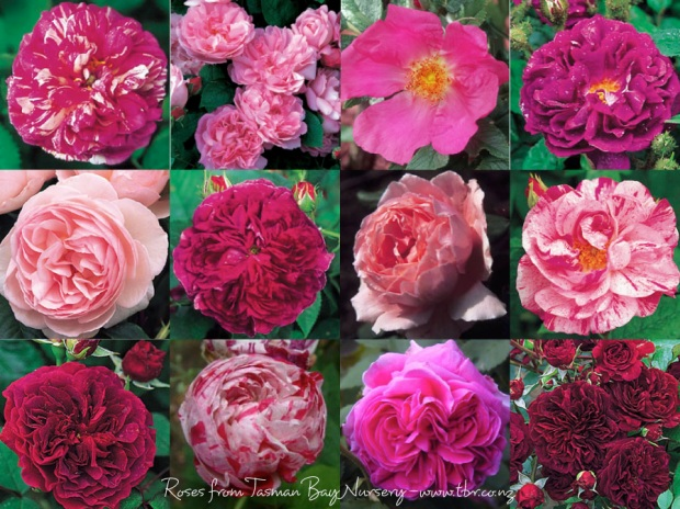 My new rose garden