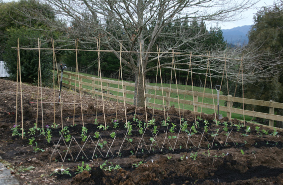 bamboo garden stakes. The Vege Garden Starts To Take Shape. Bamboo Stakes Are For Purple Peas.
